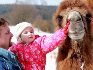 Za dětmi dorazí na Lipno otužilý velbloud Šajtan