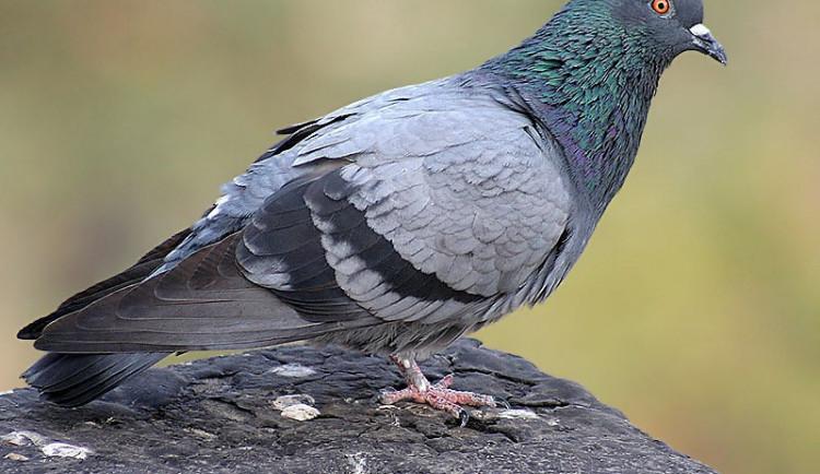 Druhý případ ptačí chřipky. Veterináři objevili nákazu na Strakonicku
