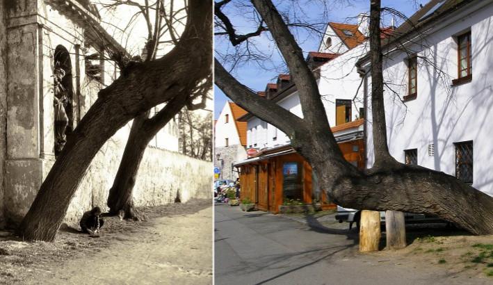 DRBNA HISTORIČKA: O nakloněné lípě našinec ví, ale i tak přibylo boulí