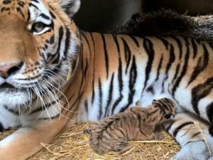 V ZOO Dvorec přišlo na svět mládě tygra ussurijského