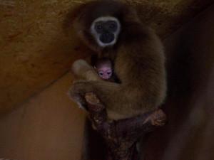 Jihočeská zoo Dvorec má nové mládě gibona