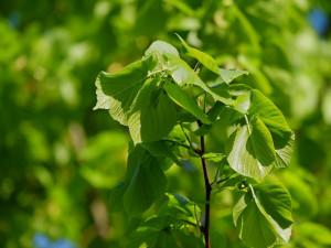 VČeském Krumlově zasadí strom Olgy Havlové