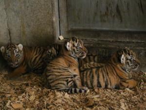 V zoo Hluboká se narodila koťata ussurijského tygra. Lidé je budou moct pozorovat až v srpnu