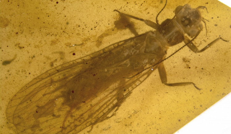 Vědci objevili nové druhy hmyzu v jantarech, pojmenovali je po členech Rolling Stones