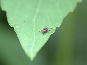 Aktivita klíšťat je vysoká. Jakým místům se vyhýbat a jak se proti těmto parazitům chránit?