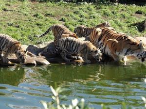 Chcete být u krmení tygrů, medvědů nebo také klokanů? Navštivte zoo v Hluboké nad Vltavou