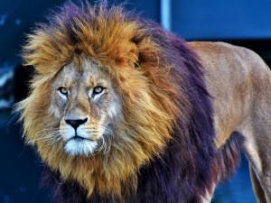 Ministerstvo chce úplně zakázat vystupování zvířat v cirkusech. Přijedu se lvy na Václavák, vzkazuje Berousek