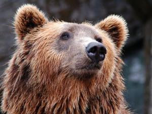 O medvěda ze Zlínského kraje má zájem zoo z Belgie