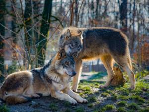 Počet vlků na Šumavě se pohybuje v řádu jednotek