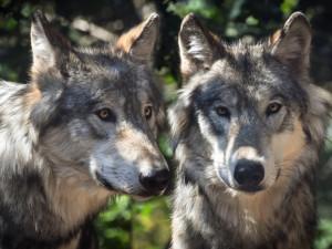 V Česku dojde na odchyt vlků, čipy a obojky by mohly usnadnit návrat šelmy