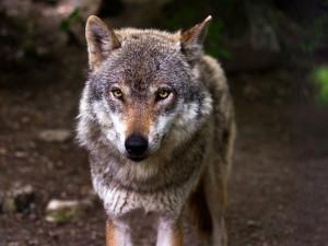 Pár vlků žijící v okolí Třeboně má čtyři až pět mláďat