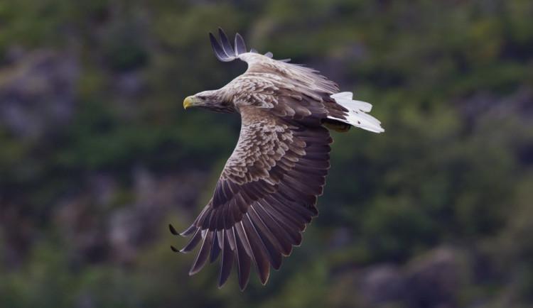 Ekologové našli na Strakonicku uhynulého orla, asi byl otráven