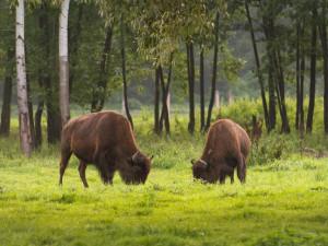 Desítka bizonů je stále na útěku. Šance, že se vrátí, se každým dnem snižuje