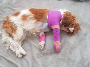 Kříženec buldoka měl ve Stromovce napadnou trpasličího španěla. Následky si poneseme, říká majitelka druhého psa