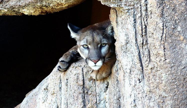 Puma se nejspíš vrátila na Jindřichohradecko. Natočili ji u Červeného Hrádku