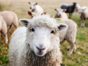 Jihočeští farmáři by přivítali účinnější ochranu ovcí před vlky