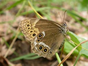 Hospodaření Lesů České republiky podle vědců zlikvidovalo tisíce chráněných motýlů