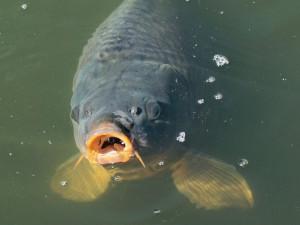 Třeboňským rybářům chybí kvůli suchu v rybnících pětina vody