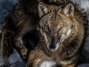 Myslivci chtějí, aby vlk přestal být přísně chráněné zvíře