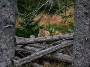 Na Šumavě a v Bavorském lese žije asi 25 rysů, mláďat přibývá