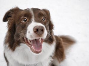 Čipování se nevyhnou ani psí senioři. O očkování ale psi bez čipu nepřijdou