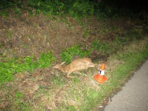 Počet usmrcených zvířat po střetu s auty v Národním parku Šumava roste