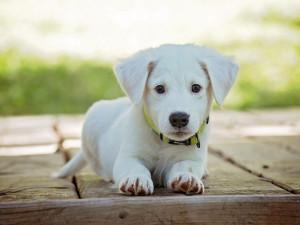 Poplatek ze psů, očkování nebo čip. Za co hrozí majitelům psů pokuta?