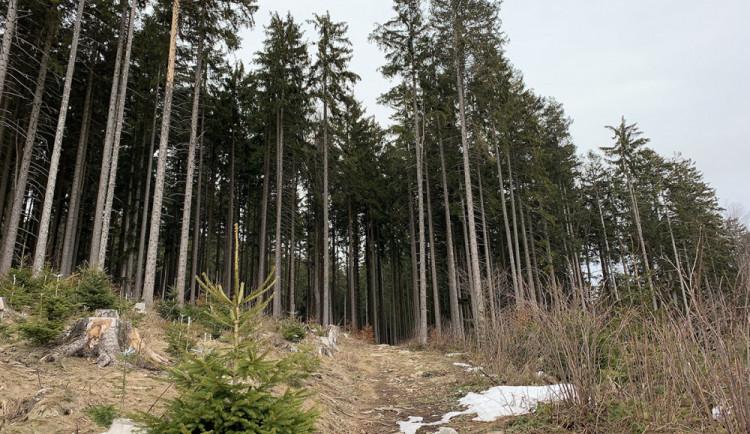 Lesy ČR můžou kácet v Boubínském pralese kvůli kůrovci