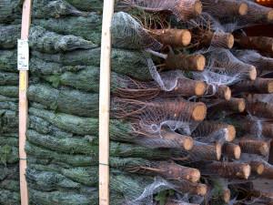 Ceny stromků jsou stejné jako loni. Favoritem je stále jedle