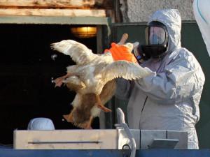 Do České republiky se vrátila ptačí chřipka, na jihu Čech se zatím nevyskytuje