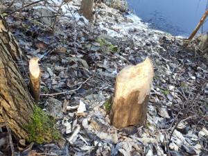 Na Českobudějovicku se objevil bobr. Stopy zanechal na břehu Vltavy