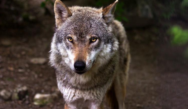 Vlci ze Šumavy nezmizeli. V loňském roce vychovali další mláďata