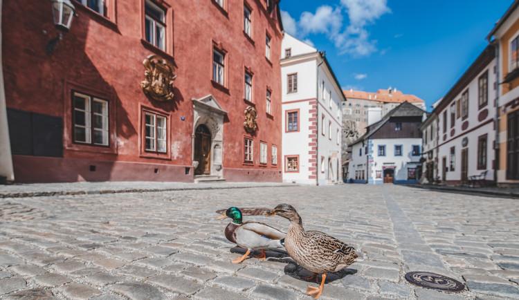 Místo turistů se ulicemi Krumlova prochází kachny. Jak vypadá turistická metropole bez lidí?