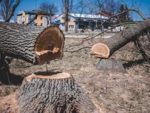 Stoleté duby někdo bez povolení pokácel, policisté hledají pachatele i případné svědky