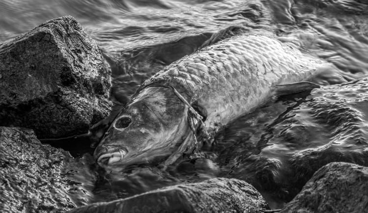 V rybníku na Strakonicku uhynulo 700 kaprů