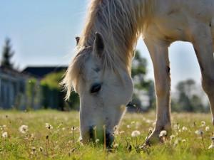 Hiporehabilitační středisko má obavy z budoucnosti, někteří koně sloužící tělesně postiženým musí pryč