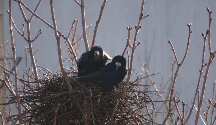 Plašení káňaty na havrany nezabralo, počet hnízd v Táboře se dokonce zvýšil