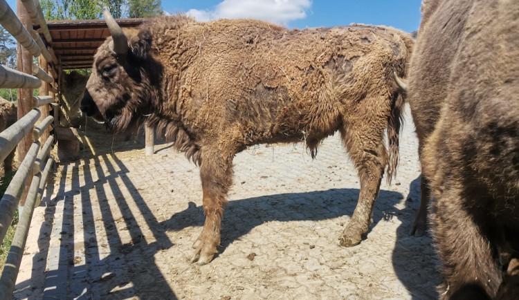 Táborská zoo poslala do přírodní rezervace svého odchovance. Zubr Tábor se přestěhoval do Rokycan
