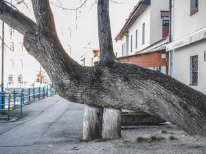 Lípa u Kliky bojuje o titul Strom roku, ve finále je dalších 11 stromů z osmi krajů