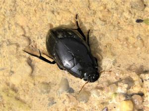 Vědci v pískovnách na jihu Čech našli ohrožené vodní brouky