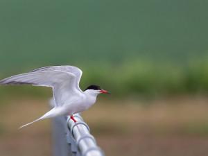 Na Lipně zahnízdil ohrožený pták rybák obecný