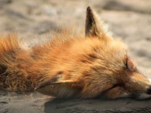 Vzteklinu se podařilo v Česku vymýtit. Poslední nakaženou lišku registrují veterináři před 18 lety