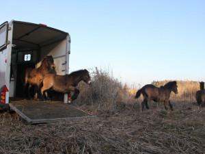 Na jihu Čech vypustili do přírody divoké koně. Budou pečovat o krajinu u Lužnice