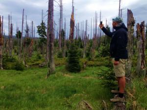 Odumřelé smrky výrazně pomáhají k ozdravování šumavské krajiny postižené kůrovcem