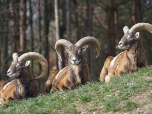 Kriminalisté hledají pytláka, který na jihu Čech zastřelil muflona. Jeho tělo nechal na místě