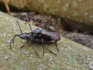 Odborníci slaví, na Šumavě nečekaně objevili další dva vymizelé druhy brouků
