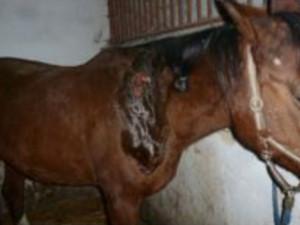 Nepochopitelný případ týrání zvířat. Klisnu ve výběhu kdosi polil žíravinou