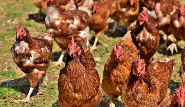 V malochovu drůbeže na Táborsku byla potvrzena ptačí chřipka