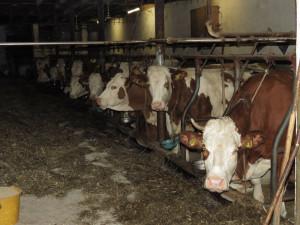 Novela zákona na ochranu zvířat se dotkne také chovu skotu
