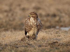 Ptákem roku 2021 je v Česku káně lesní. Podle ornitologů jde o přehlížený druh
